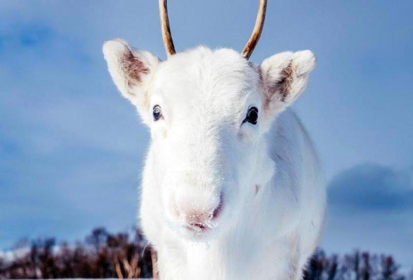 Renne blanc mignon