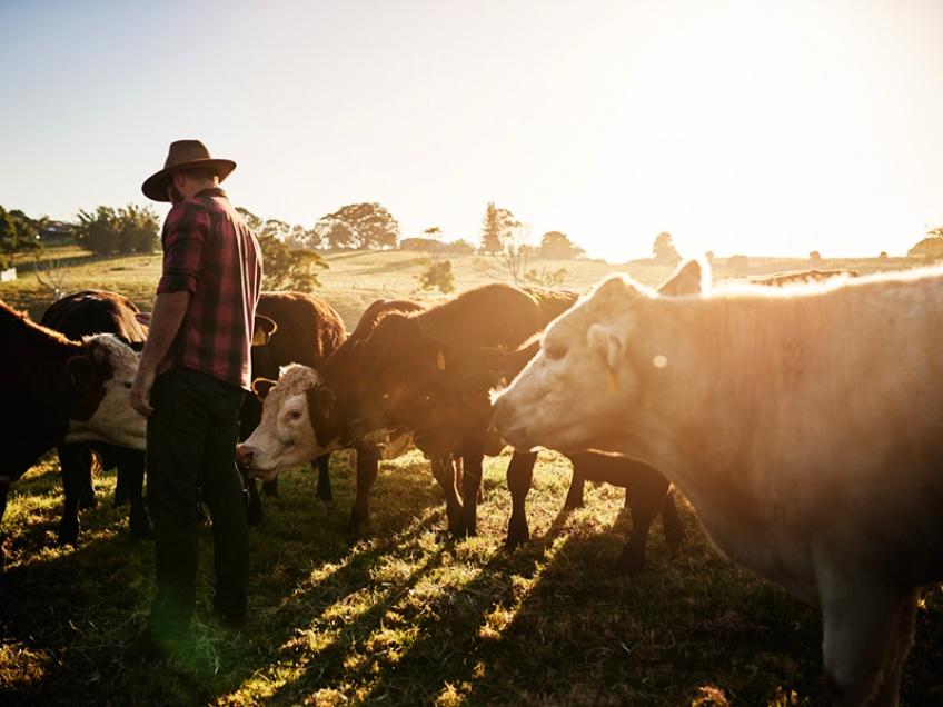 vaches à hublots