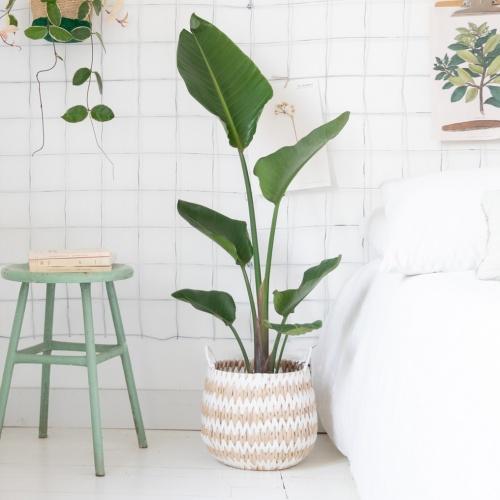 Bergamotte - Plante et son cache-pot
