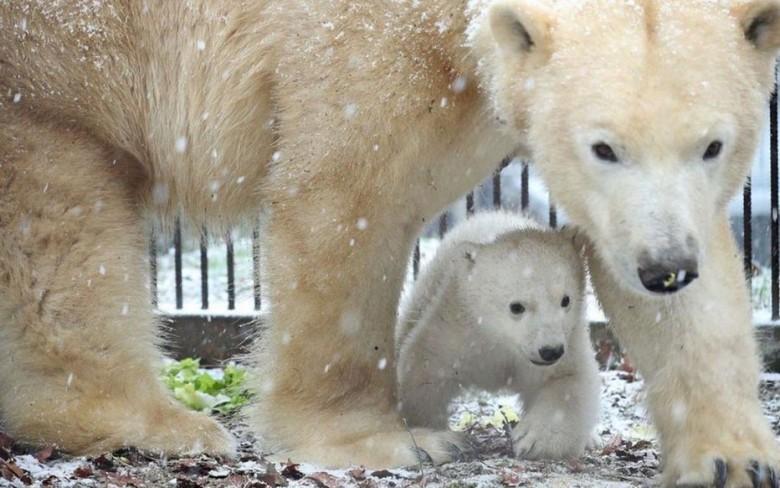 Ourson polaire, Parc zoologique et botanique de Mulhouse