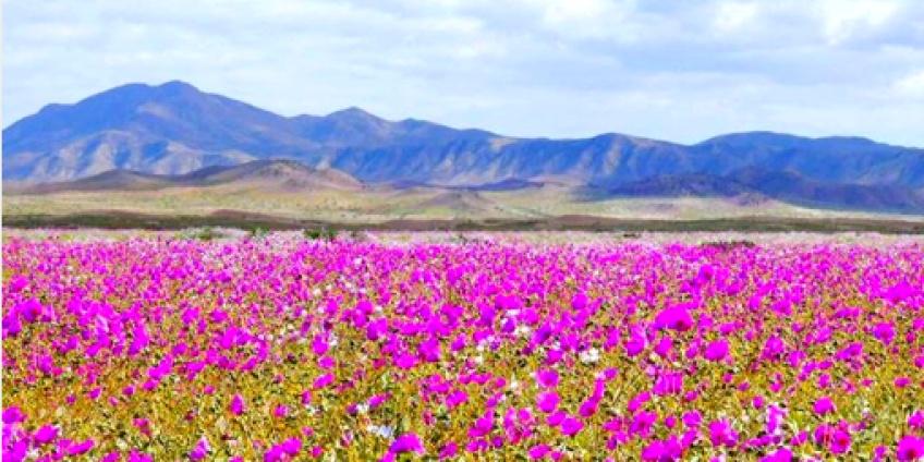Une explosion de fleurs dans le désert le plus aride du monde s'est produite au Chili !