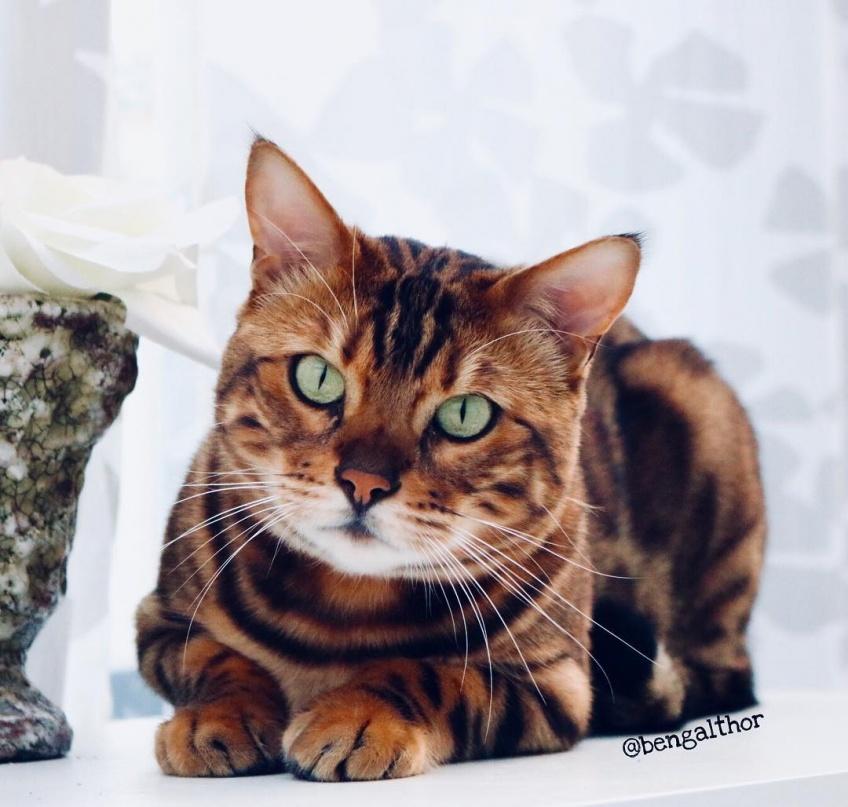 On vous présente Thor, le plus beau chat du monde !