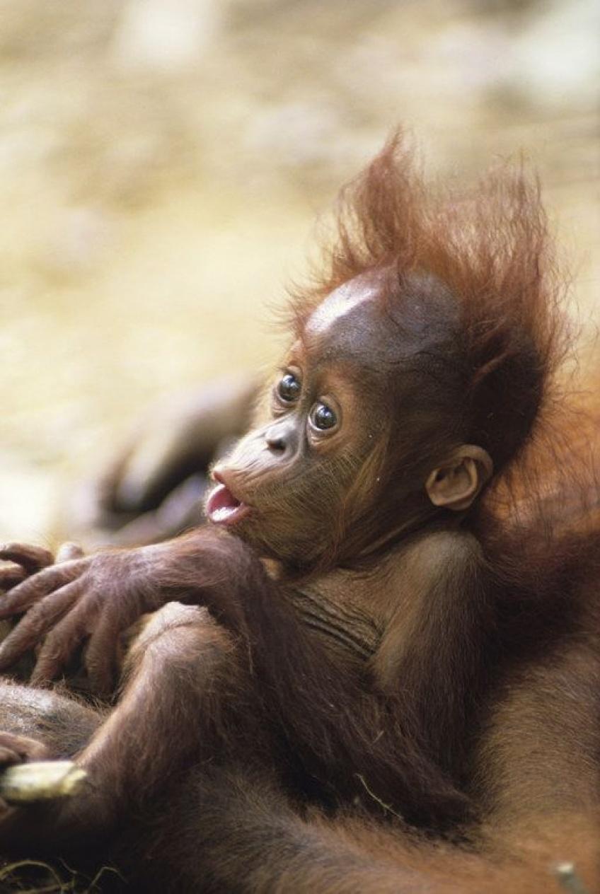 Un orang-outan attaque un bulldozer dévastant sa forêt en Indonésie