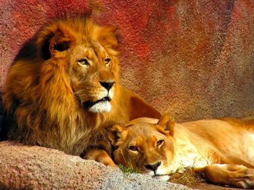 Trois braconniers se font manger par des lions en partant chasser des rhinocéros !