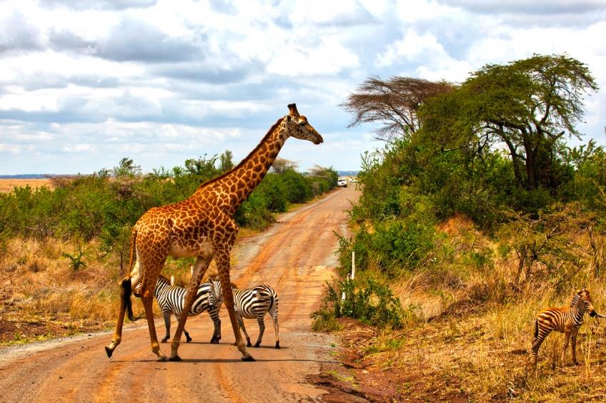 Une espèce de girafe blanche extrêmement rare, filmée en amateur pour la première fois