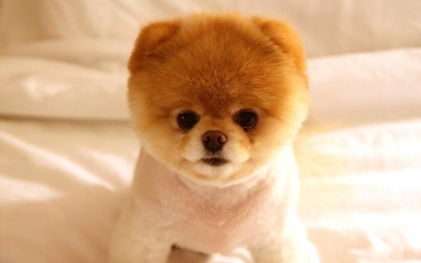Boo, le chien le plus mignon du monde, est mort !