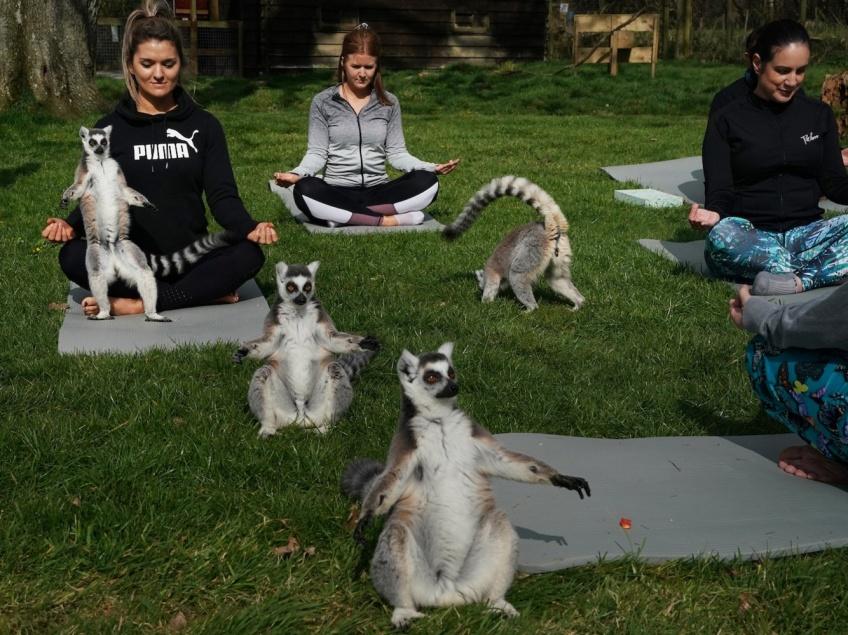 Un hôtel anglais propose des cours de Yoga avec... des lémuriens !