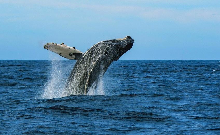 Cette vidéo à couper le souffle immortalise le saut d'une baleine à bosse venue éclabousser un bateau de pêcheur
