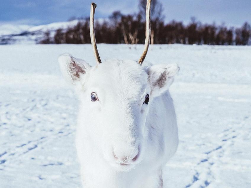 renne blanc