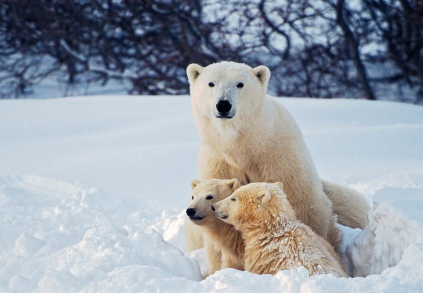 En Arctique, ces ours polaires mangent du plastique