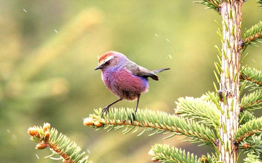 Animaux : la nature a créé cet oiseau violet tout droit sorti d'un monde enchanté