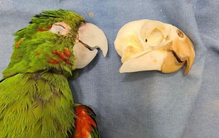Animaux : des vétérinaires reconstruisent le bec cassé d'un perroquet et lui sauvent la vie