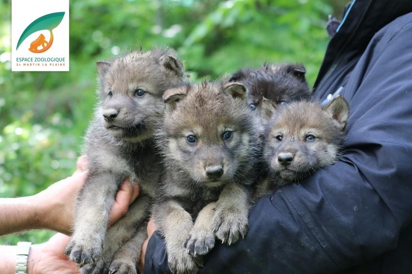 Animaux : Quatre louveteaux ont vu le jour au zoo de Saint-Martin-la-Plaine