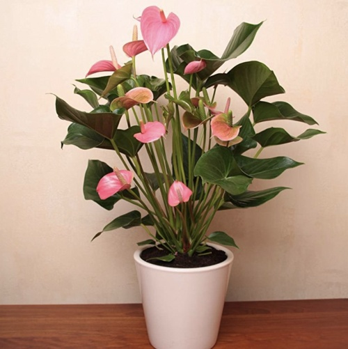 JardinPourVous - Anthurium Pink