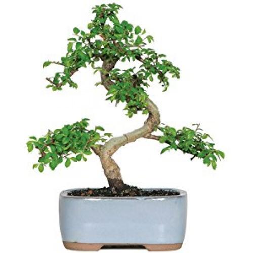 Jardinpourvous - Bonsaï Orme Chinois