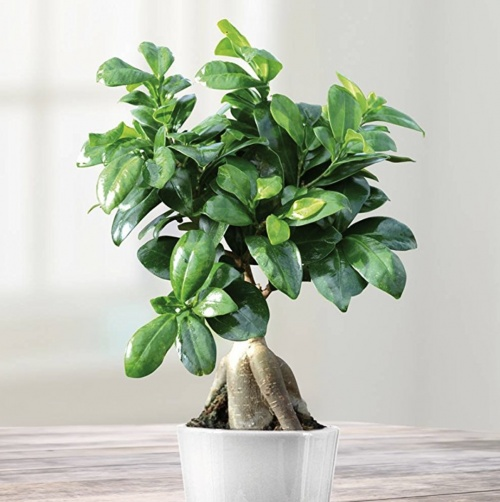 JardinPourVous - Ficus Retusa