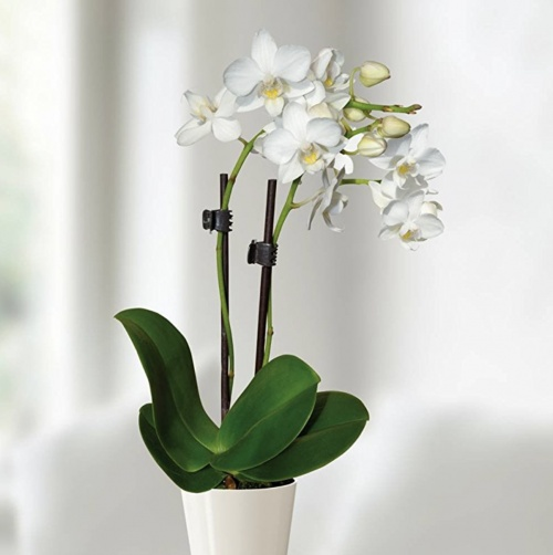 JardinPourVous - Orchidée Blanche