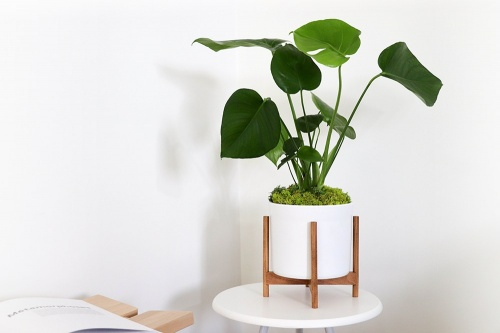 Léon & George - Philodendron Monstera