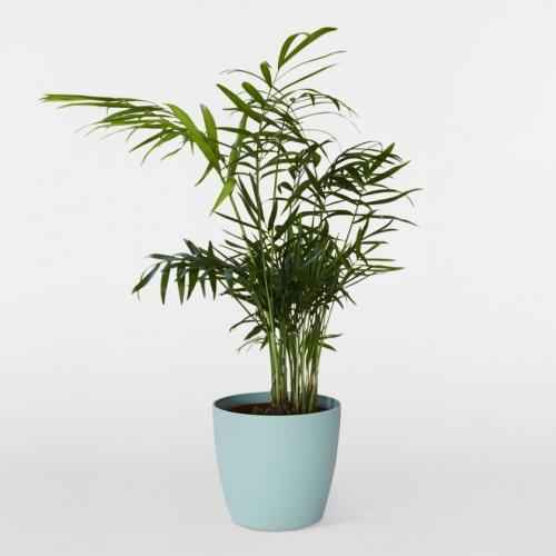 Patch Plants - Palmier des Montagnes