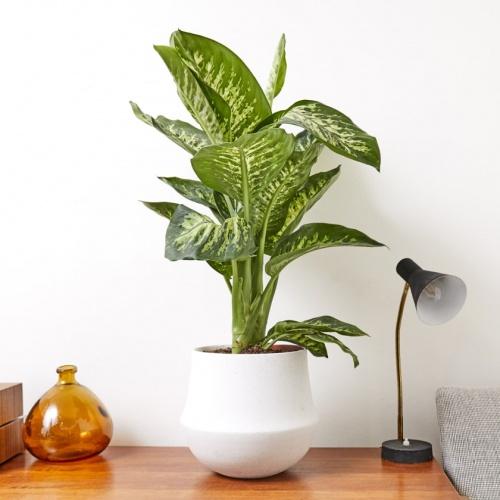 Patch Plants - Dieffenbachia Seguine