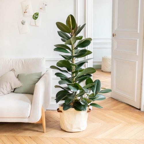 Bergamotte - Ficus elastica