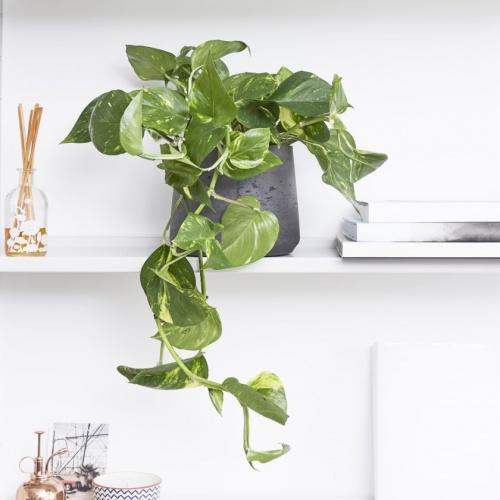 Patch Plants - Lierre