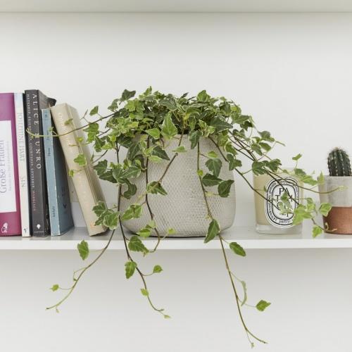 Patch Plant - Lierre panaché