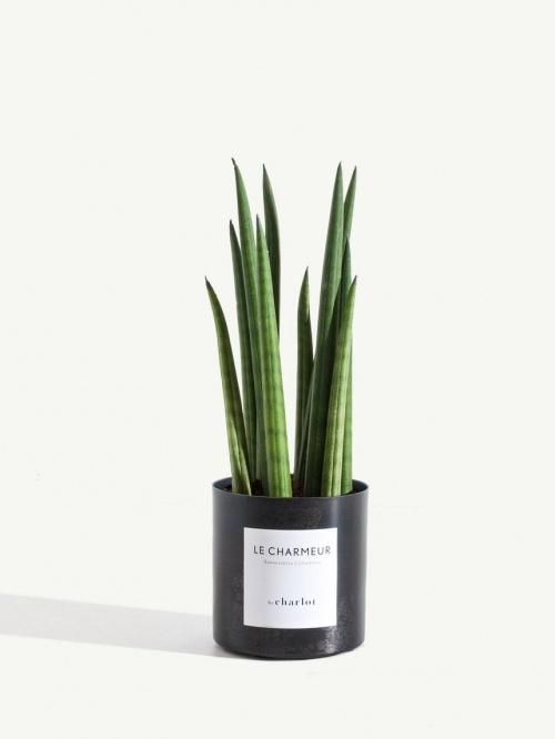 Charlot - Sansevieria Cylindrica