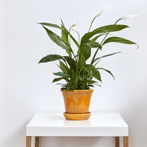 Patch Plants - Fleur de Lune
