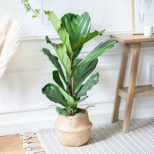 Bergamotte - Ficus lyrata