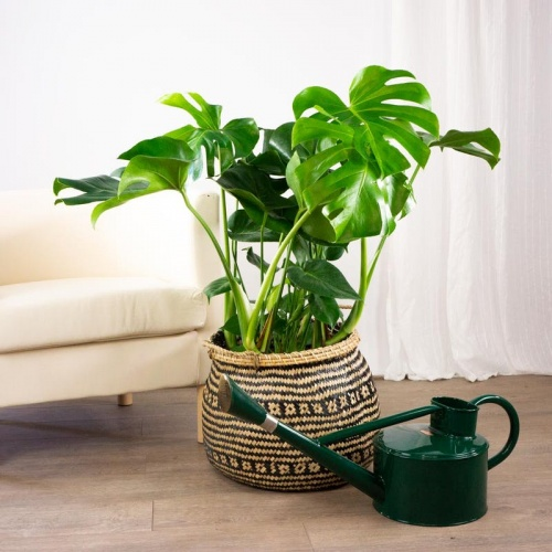Be green -Philodendron
