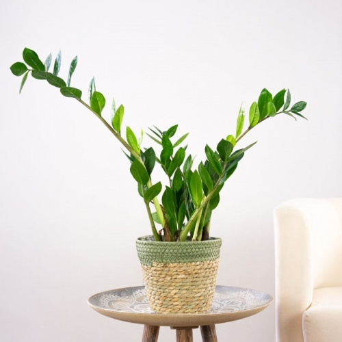 Be Green - Plante ZZ