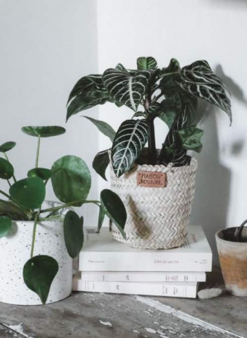 Maison Bouture - Duo de plantes vertes
