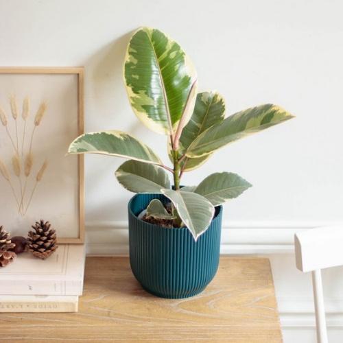 Bergamotte - Ficus